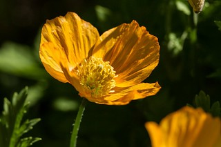 Glowing Yellow Poppy