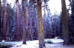 Redwoods (moacirdsp) Tags: redwoods sequoia muir woods national monument mill valley marin county california usa 1977 treesdiestandingup