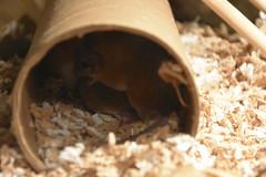 African Spiny Mouse (Adventurer Dustin Holmes) Tags: 2018 wondersofwildlife mice mouse africanspinymouse animalia chordata acomysspinosissimus