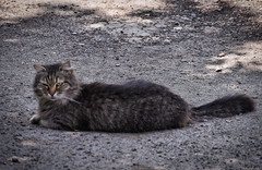 The veteran of street fights (vorotnik1) Tags: street photo cat fighter veteran look life animals