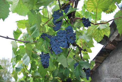 Виноград InterNetri Ukraine 3