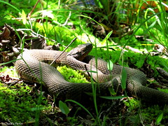 Snake in the Grass (Explored) (~~BC's~~Photographs~~) Tags: chucksphotos canonsx50 snakes hiking sloanspond mammothcavenationalpark kentuckyphotos spring outdoors naturephotos animals closeups grass ourworldinphotosgroup earthwindandfiregroup explorekentucky photosthruyourlensgroup solidarityagainstcancergroup explored5142018112