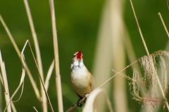 Red in the beak (Jurek.P) Tags: greatreedwarbler birds bird singing ptaki ptak trzciniak beak spring park citypark kępapotocka warsaw warszawa poland polska jurekp sonya77