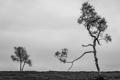 Walking Tree (jkiter) Tags: deutschland baum pflanze kahlerasten sauerland birke sw natur winterberg germany nature schwarzweis bw blackandwhite einfarbig monochrome plant