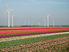 Tulip fields (EvelienNL) Tags: flower flowers tulip tulips bloem bloemen tulp tulpen flowerfield flowerbed field bulbfield tulipfield bollenveld bollenvelden tulpenveld tulpenvelden bloemenveld bloemenvelden lente voorjaar spring colourful kleurrijk flevoland flevopolder zeewolde dutch holland netherlands pink red purple paars rood rode roze windturbine windenergy alternativeenergy greenenergy windmolens wind white wit landscape landschap countryside