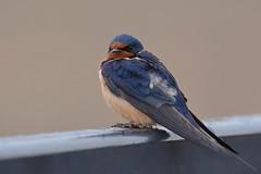 Barn Swallow (JDA-Wildlife) Tags: birds nikon nikond7100 tamronsp150600mmf563divc jdawildlife johnny portrait closeup eyecontact swallows swallowbarn barnswallow whatbirdbestofday gorgeous