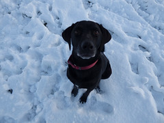 Biscuit? (Lexie's Mum) Tags: snow cold winter december2017 ice dog lester
