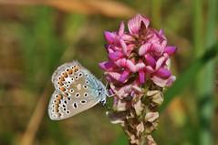 Bläuling (Hugo von Schreck) Tags: hugovonschreck butterfly schmetterling macro makro insect insekt bläuling canoneos5dsr tamron28300mmf3563divcpzda010