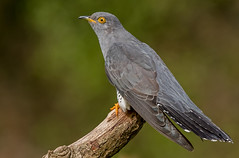 DSC8264  Cuckoo... (jefflack Wildlife&Nature) Tags: cuckoo cuckoos summermigrant birds avian animal animals wildlife wildbirds wetlands woodlands farmland forest heathland hedgerows moorland marshland meadows marshes migrants countryside nature