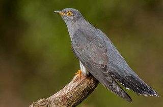 DSC8264  Cuckoo...