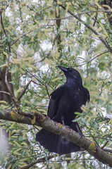 crow crow -7540-1-2018 (Emmanuel Ménétrier) Tags: 2018 avril