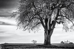 In the warm Light of the Evening... (New Views IX) (Ody on the mount) Tags: abendlicht anlässe bäume em5ii fototour himmel mzuiko4518 omd olympus pflanzen solitär wolken bw clouds monochrome sw trees