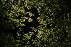 Prunus padus (from forest towards light) (talaakso) Tags: ahlkirsche elsenkirsche gewöhnlichetraubenkirsche hariliktoomingas hägg kevät maydaytree prunuspadus spring sumpfkirsche birdcherry green hackberry hagberry lightanddarkness tuomi
