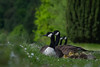 Relax! The kids Are Asleep. (neil 36) Tags: canadian geese goslings depth field family pov grass daisies nature wildlife waterbird nikon d7200 nikor 300mm f4 nottinghamshire east midlands region england country estate dukes newcastle picturesque parkland magnificent lake worksop s803az dof