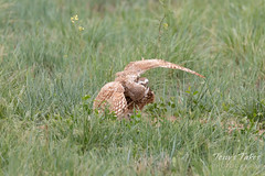 Burrowing Owl mating sequence - 12 of 22
