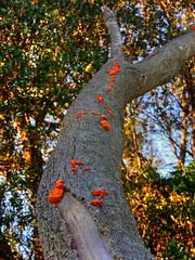 More Blobs! (elphweb) Tags: hdr highdynamicrange nsw australia fungus fungi tree trees forest