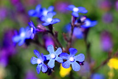 Wild violet flowers, Valdebebas Forest Park, Madrid, Spain (dgarridosan) Tags: