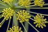 Ridolfia segetum Moris (José A. Conde) Tags: 2018 apiaceae umbelliferae ridolfiasegetum macro florasilvestre ríoguadaira
