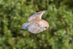 barn owl (colin 1957) Tags: barnowl birdsofprey