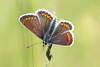 brown argus (andy_porter69) Tags: brown argus brownargusbutterfly brownargus