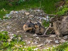 Murmeltiere (oonaolivia) Tags: murmeltier marmots panixersee graubünden grisons schweiz switzerland wildanimals wildtiere natur