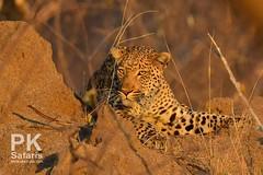 Leopard (B1 Photo Safaris in Kruger National Park) Tags: private kruger safaris b1 africa leopard resting anthill next low light