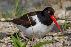 Checking her eggs (tresed47) Tags: 2018 201805may 20180521njebforsythebirds americanoystercatcher birds canon7d content ebforsythenwr folder may newjersey peterscamera petersphotos places season shorebirds spring takenby us