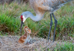 Sandhill Cranes (dubrick321) Tags: birds sandhillcrane sandhilcranebabychick sandhillcranenest colts sandhillcranecolts