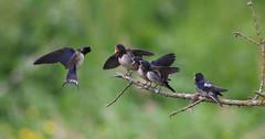 Andorinha-das-chaminés - (Hirundo rustica) - Barn swallow (carloscmdm) Tags: aves parque jamor selvagem natureza andorinha