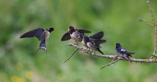 Andorinha-das-chaminés - (Hirundo rustica) - Barn swallow