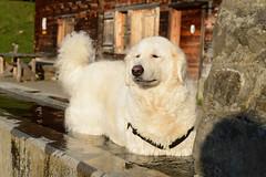 Es tut so gut! (balu51) Tags: wanderung abend alp brunnen hund kuvasz ungarischerhirtenhund zufrieden hiking dog enjoying happy evening mai 2018 copyrightbybalu51