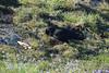 chuff chuff chough (Lord Edam) Tags: bird rspb southstack holyhead anglesey welshphotography cliff seabird guillemot razorbill puffin seagull chough