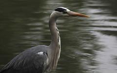 Predatore (lincerosso) Tags: uccelli birds aironecenerino ardeacinerea eleganza palude stagno bellezza armonia predatore