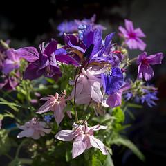 bouquet of jewel colours (Wendy:) Tags: bouquet jewel colours garden may aquilegia iris geranium pink purple