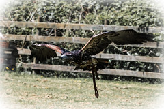 Black Chested Buzzard Eagle 23-05-18 (7) (R.J.Boyd) Tags: black chested buzzard eagle bird prey raptor hunter flight flying wildlife animal avian feathers wings gauntlet