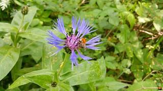 Berg-Flockenblume (Cyanus montanus (L.) Hill, Syn.: Centaurea montana L.)