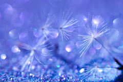 Bokeh blizzard (alideniese) Tags: 7dwf macro closeup dandelion dandelionseeds fine small tiny bokeh hbw colour colourful blue purple pink shiny sparkle alideniese light glitter delicate