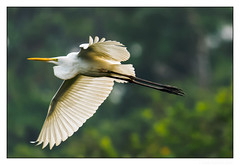 Sunset Speed (JohnKuriyan) Tags: kumarakom kerala india in eastern great egret