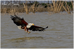 The Ultimate Raptor! (MAC's Wild Pixels) Tags: theultimateraptor africanfisheagle haliaeetusvocifer eagle raptor bird birder birdwatcher birdofprey birdperfect birdlife wildlife animal africanwildlife wildafrica wildanimal wildbird avian plumage feathers ornithology safari boatride outdoors outofafrica lakebaringo greatriftvalley kenya birdsofeastafrica macswildpixels beautifulbird colourfulbird coth ngc coth5 npc naturethroughthelens