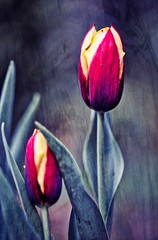 Tulip (Sran Vld) Tags: tulip tulp flower bloem nature natuur groeien bol poster fine art leaves red green yellow decoration wall national