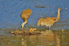 New Family of Sandhill Cranes (chumlee10) Tags: wi wisconsin water sandhill crane baby chick bird new born nest nesting