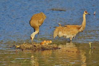 New Family of Sandhill Cranes
