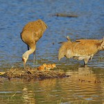 New Family of Sandhill Cranes thumbnail