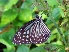 Dark Glassy Tiger (Tim Aldworth) Tags: butterflies dark glassytiger nikonaw130 paranticaagleoidesagleoides thailand khaolak