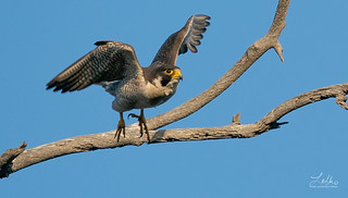 Peregrine Flight
