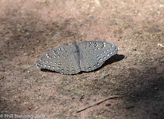 Guineafowl-Hamanumida daedalus (Phill Blanning) Tags: butterfly guineafowl safrica