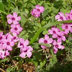 Au jardin, oxalis articulé, Bosdarros, Béarn, Pyrénées Atlantiques, Aquitaine, France. thumbnail