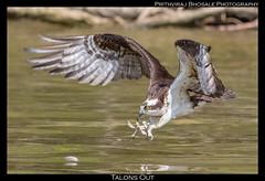 Talons Out! (Prith_B) Tags: osprey seahawk canon7dmarkii canon400mmf56l birdsofprey