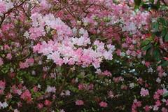 Azalea (basswulf) Tags: azalea flower d40 vivitar90mmf25macro lenstagged unmodified 32 image:ratio=32 permissions:licence=c 20180503 201805 3008x2000 rhs rosemoor rhsrosemoor devon england uk plantdb:family=pending