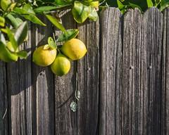 Lemons. HFF (Steve Wedgwood) Tags: fence lemons leaves yellow fruit citrus oakland